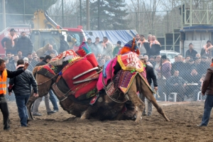 Biga'da develer güreşti…